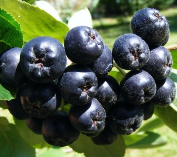 Natural Product - Aronia berry