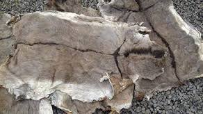 Well Dried and salted and Wet Salted Donkey/COW/HORSE hides