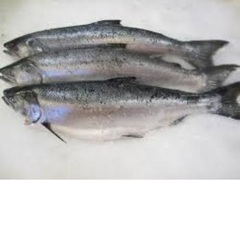 Salmon Fish, Frozen salmon fillet,Salmon Fish BEST OFFER