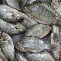 Organic tilapia fish feed to promote health and nutrition in Bangladesh