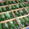 FRESH PINEAPPLE HIGH QUALITY FROM VIET NAM