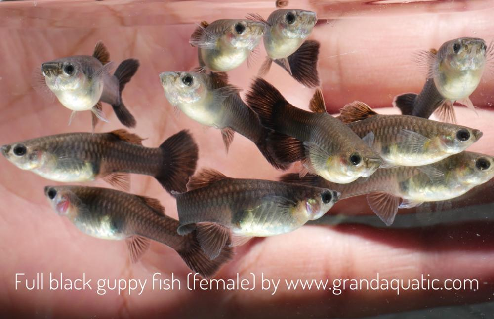 Full black guppy for Freshwater Aquarium fish export company from Thailand