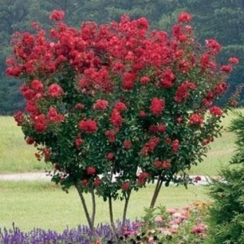 Get Quotations Dwarf E Myrtle Red Seeds Longest Blooming Tree