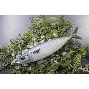 Import Whole Frozen Mackerel 600g up With Good Price