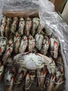 Export Quality Frozen - Fresh - Live Blue Swimming Crab