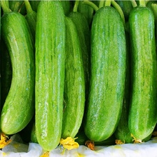Wholesale Fresh Cucumber / Price Of Fresh Cucumber / Fresh Cucumber In India