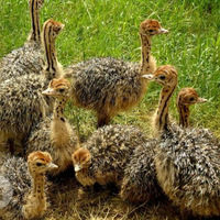 ostrich chicks in fowl AND LIVESTOCK