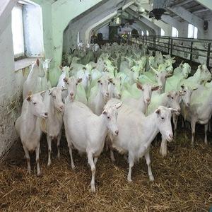 Alive Pregnant Saanen / Boer Goats For Sale