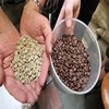 Best quality Green Arabica Coffee Beans from UK