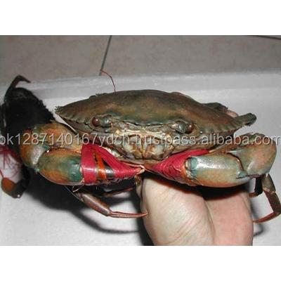 Alive Mud Crab - Live Mud Crab - Scylla Serrata - Alive Scylla Serrata - Live Seafood