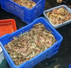Whole Cuttlefish/Seafood/Fresh Squid!!! for sale