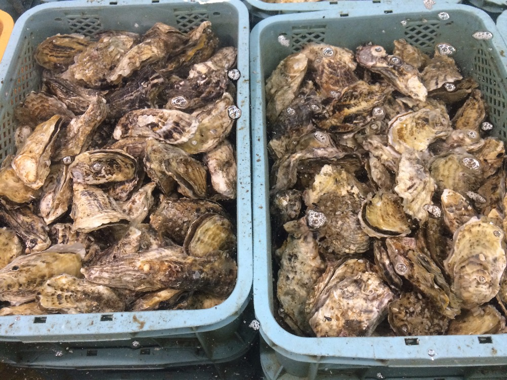 1 Year Live Wholesale Fresh Oyster Price with Big Size and Sweet Taste from Murotsu bay