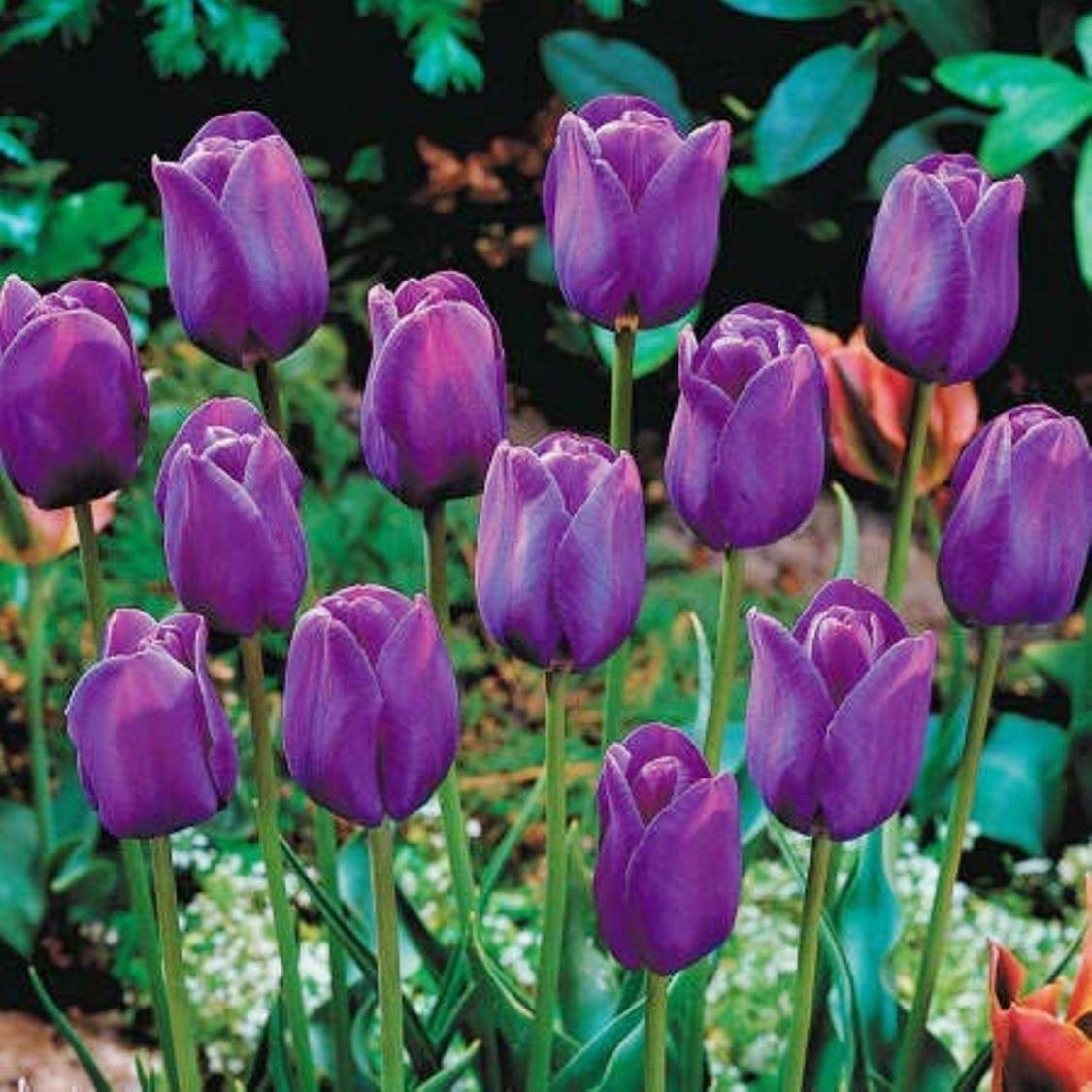 Cheap perennial flower bulbs find perennial flower bulbs deals on silksart 5 bulbs purple tulip bulbs early bloom perennial bulbs for garden planting beautiful flower izmirmasajfo