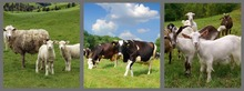 Live cow, Sheep and Goats for sale