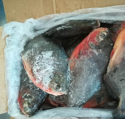 High Quality Frozen Whole Red Pomfret/ Red Pacu fish Certified Quality By SGS