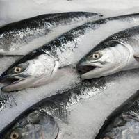 Seafood Fishes Frozen Atlantic Mackerel