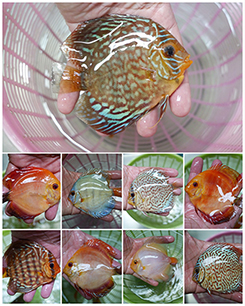 Red white koi carp fish for sale