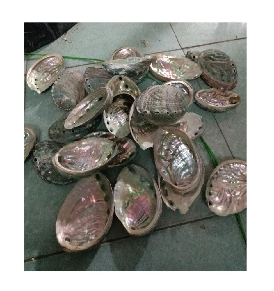 Abalone Shell/Vietnam seashell (0084587176063 whatsapp)
