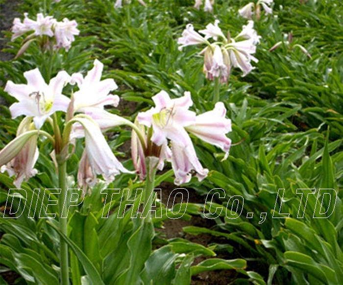DRIED CRINUM CALAMISTRATUM FROM VIETNAM WITH HIGH QUALITY/ BEST PRICE/ LARGE QUANTITY