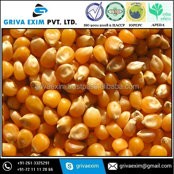 Best Indian Yellow Maize