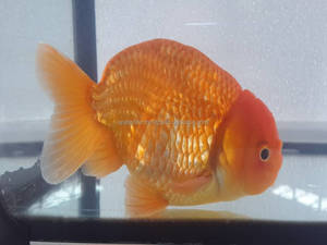 Tropical Goldfish Tropical Goldfish Suppliers And