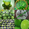 Green seedless lime with good smell and very good for health, good price now