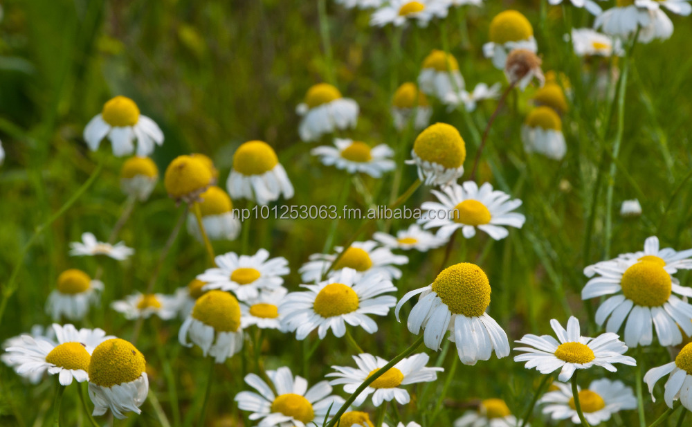 Natural german chamomile essential oil