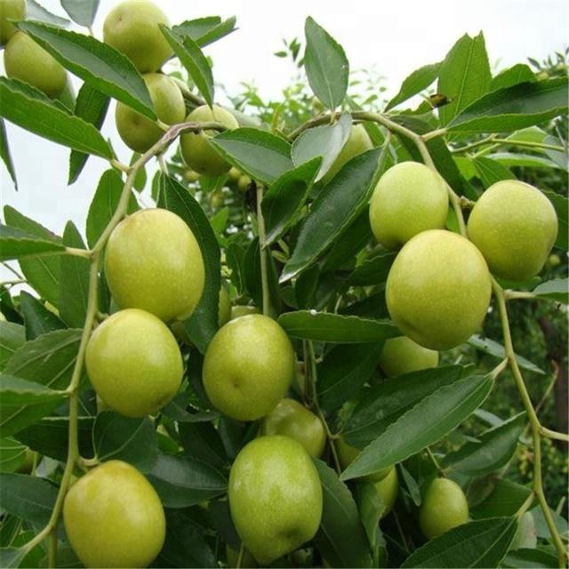 Yüksek Kaliteli Taze Hünnap Meyve üreticilerinden Ve Taze Hünnap