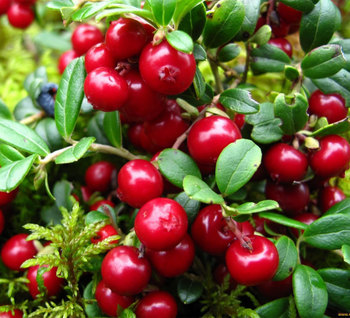 Extract lingonberry from Russia