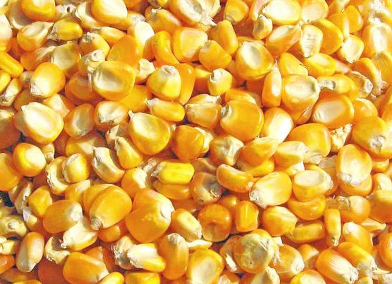 Dried corn dried corn suppliers and manufacturers at alibaba ccuart Choice Image