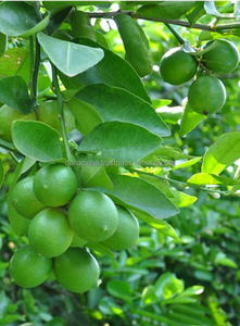 FRESH SEEDLESS LIME // GREEN LEMON_GOOD QUALITY _ FROM VIETNAM