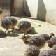 Ostrich Chicks For sale From South Africa