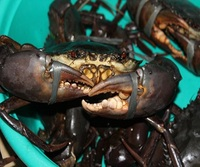 Hot Sale Live Mud Crabs,Blue Crabs,King Crabs