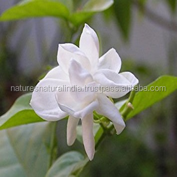 Pure and Natural Jasmine Essential Oil