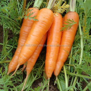 Tunisian Fresh Vegetables Carrots High Quality For Export