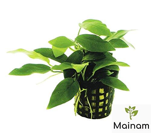 Mainam Anubias Nana Freshwater Live Aquarium Plants Potted Aquatic Water Plants Fish Tank Decor By
