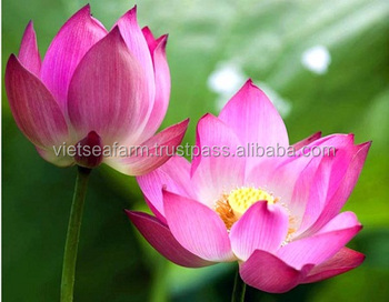 Natural lotus flower the best quality buy lotuslotus flower natural lotus flower the best quality mightylinksfo