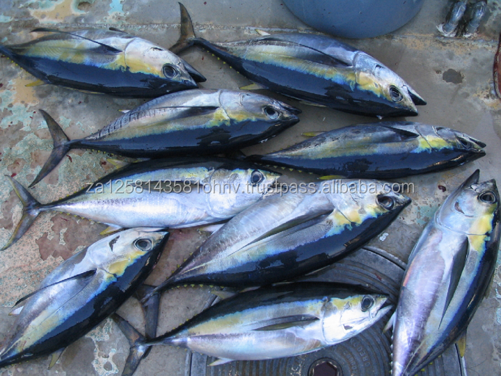 Frozen Whole Skipjack Tuna