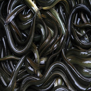 High quality live Eel fish wholesaler with chap price