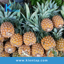 Vietnam Fresh Sweet Pineapples - Kientap JSC