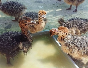Ostrich Chicks Available Now