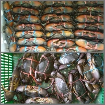 Frozen Mud Crab - Buy Where To Buy Mud Crab,Live Mud Crab In Poland,Live  Mud Crab Worldwide Delivery Product on Alibaba com