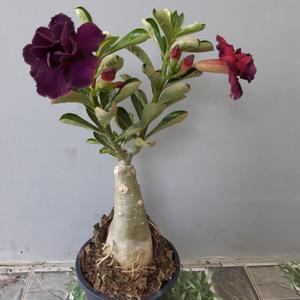 Thailand Adenium plant