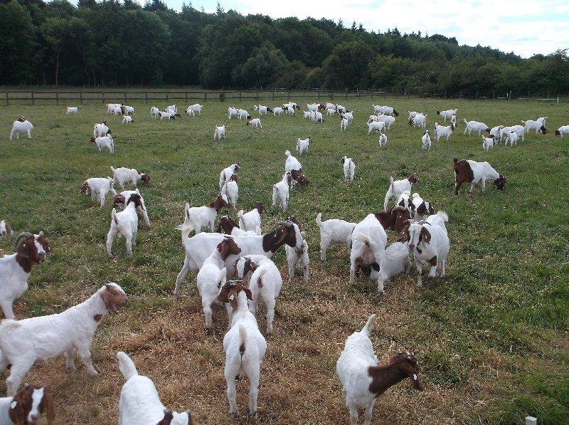 Живи молочные коровы и беременные гольштейны телки коровы/живые козлы бура/живи Овцы/Крупный рогатый скот