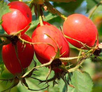 100% natural plant extract, rose hip extract