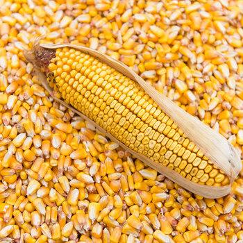 Chicken Feed Yellow Corn Gluten Feed Price