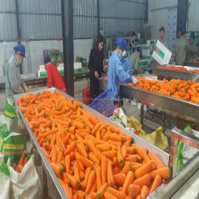 Fresh carrot/ carrot cheap price/ Vietnam carrot