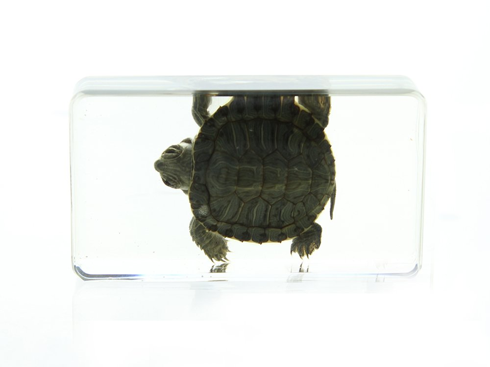 Buy Lucite Treasures Red Eared Slider Turtle Paperweight Small in ... 626ac71b3