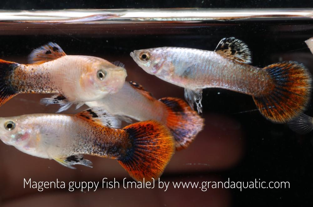 Magenta guppy for Freshwater Aquarium fish export company from Thailand