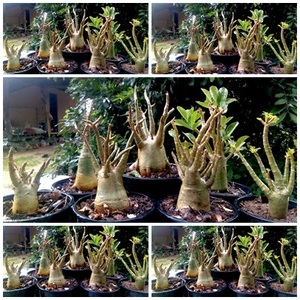 Thailand Adenium Plants, Thailand Adenium Plants Manufacturers and